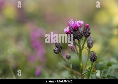 Saw Wort; Serratula tinctoria Flowering Cornwall; UK - Stock Photo