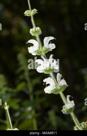 Silver Sage, Silversalvia (Salvia argentea) - Stock Photo