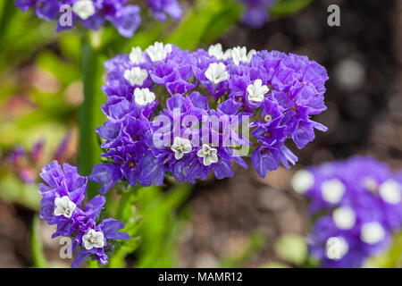 'Mörkblå' Statice, Risp (Limonium sinuatum) - Stock Photo