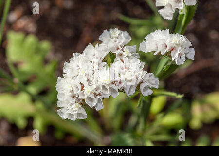 'Vit' Statice, Risp (Limonium sinuatum) - Stock Photo