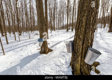 Buckets collect sap on maple trees at St-Gregoire Quebec - Stock Photo