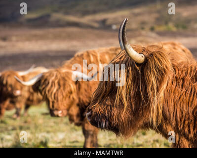 Highland cattle grazing in fields and enjoying the spring sunshine in the Scottish Highlands - Stock Photo