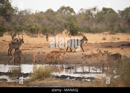 Herd of impala and waterbuck drinking from a pan in the Kruger Park - Stock Photo