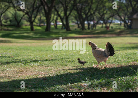 Chickens was taken in Oahu island, America. Oahu is known a tropical island located in Hawaii, United States. - Stock Photo