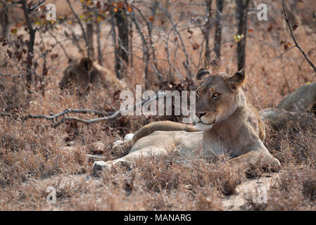 Pride of lions resting during the heat of the day - Stock Photo
