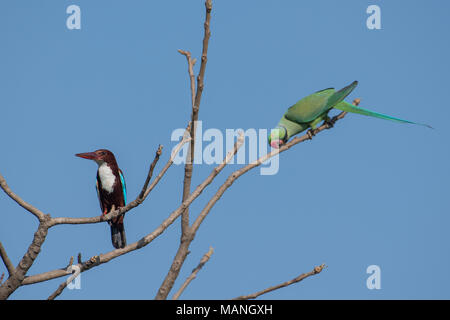 Bird: White Throated Kingfisher and Rose Ringed Parakeet  Perched on Tree - Stock Photo