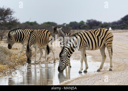 Burchell's zebras (Equus quagga burchellii), adults and foal on a dirt road, drinking rainwater from a puddle, Etosha National Park, Namibia, Africa - Stock Photo