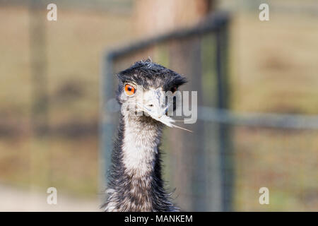 Portrait of beautiful emu (Dromaius novaehollandiae) - Stock Photo