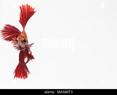 Beautiful moving moment of white siamese fighting fish, - Stock Photo