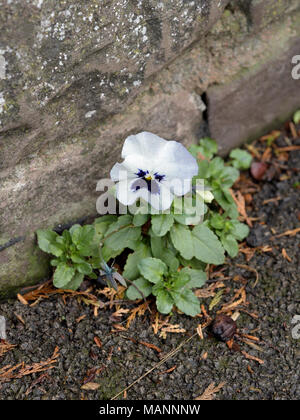 Garden Pansy, Viola x wittrockiana growing by a wall - Stock Photo