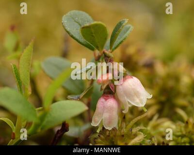 Cowberry, Vaccinium vitis-idaea - Stock Photo