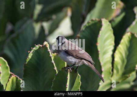 Cape Bulbul (Pycnonotus capensis), Debre Libanos, Ethiopia - Stock Photo