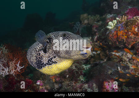 Map Puffer (Arothron mappa) on the cleaning station - Stock Photo