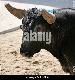 Traditional running of wild bulls by the 'campinos', during the Barrete Verde (Green Cap) festivities. Alcochete, Portugal - Stock Photo