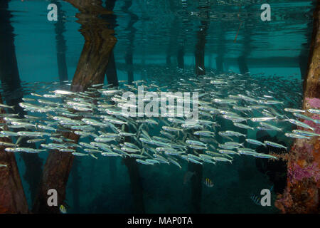 Life under jetty. Picture was taken in the Ceram sea, Raja Ampat, West Papua, Indonesia - Stock Photo