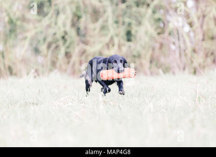 Working Cocker Spaniel dogs training in the countryside, United Kingdom - Stock Photo