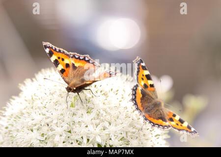 Two Small Tortoiseshell butterflies (Aglais urticae) land on a white allium flower - Stock Photo