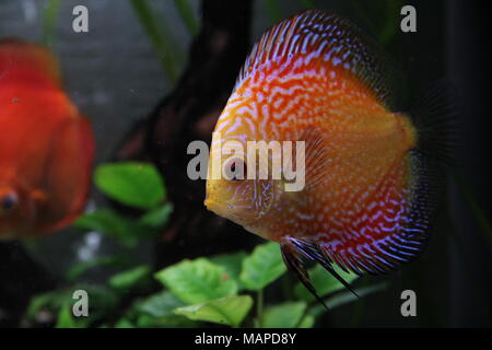 Orange Discus Fish in Tropical Freshwater aquarium - Stock Photo