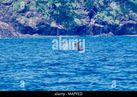 A sperm whale diving close to the volcanic cliffs of Pico island - Stock Photo