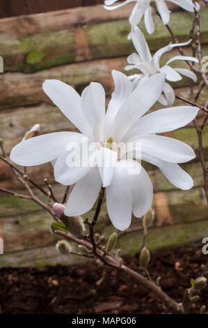 Magnolia stellata (Star Magnolia) showing flowers in early Spring. - Stock Photo