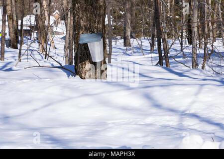 Maple sap collection, Quebec City, Canada - Stock Photo