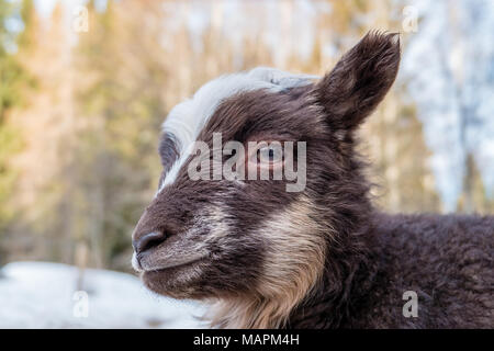 close up on a little brown and white lamb - Stock Photo