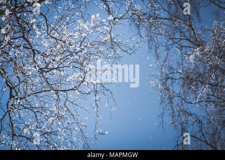 Bare tree branches covered with snow against the blue sky. Tiny snowflakes falling. This is snow crumbles from the branches. Winter nature background - Stock Photo