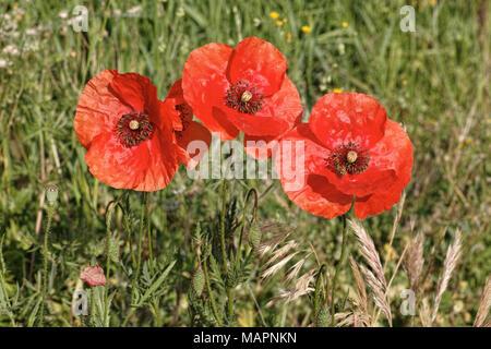 common poppy flowers - Stock Photo