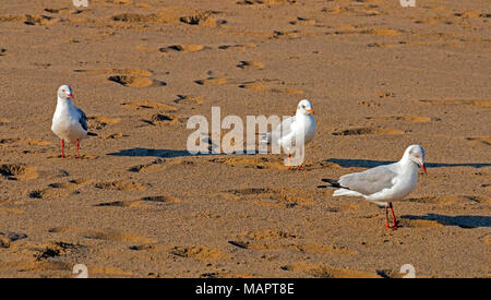 Close up of three Grey Headed Gulls walking through footprints on beach sand pattern and texture - Stock Photo