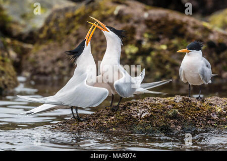 Elegant terns (Thalasseus elegans) in courtship display on Isla Rasa, Baja California, Mexico, North America - Stock Photo