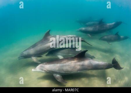 A pod of common bottlenose dolphins (Tursiops truncatus), underwater at El Mogote, Baja California Sur, Mexico, North America - Stock Photo