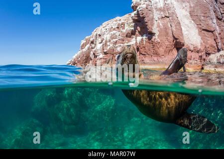 California sea lion (Zalophus californianus), half above and half under at Los Islotes, Baja California Sur, Mexico, North America - Stock Photo