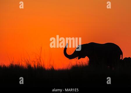 Elephant (Loxodonta africana) at sunset, Chobe National Park, Botswana, Africa - Stock Photo