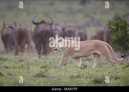 Lioness (Panthera leo) hunting a Cape Buffalo herd, Addo Elephant National Park, South Africa, Africa - Stock Photo