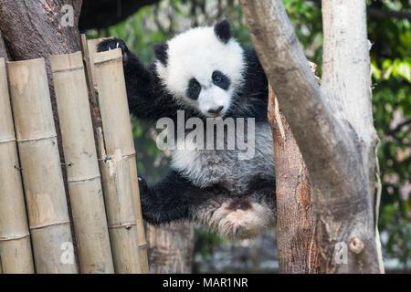 Panda cub playing in a tree, Chengdu, China - Stock Photo
