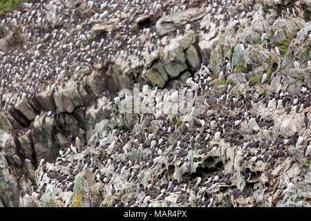 Breeding colony of Common Guillemot Uria aalge on cliffs, South Stack, Anglesey, Wales, UK - Stock Photo