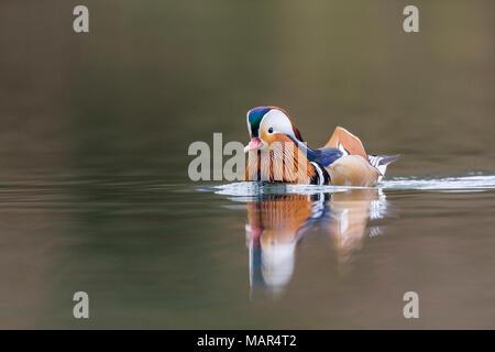 Single male Mandarin Duck Aix galericulata swimming on water - Stock Photo