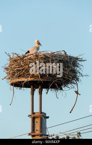 Pair of White Stork Ciconia ciconia youngsters on nest platform with House Sparrow Passer domesticus - Stock Photo