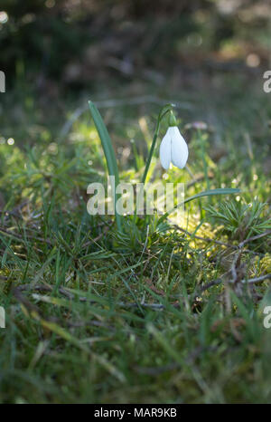 In the foreground is the first spring snowdrop with dew drops on leaf in sunshine - Stock Photo