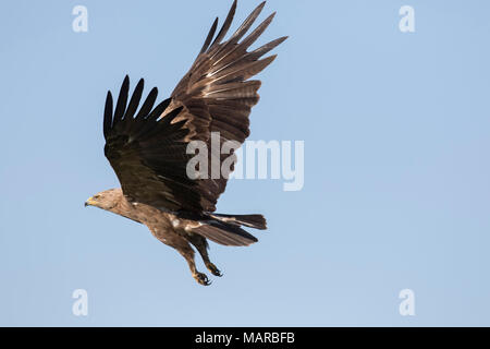 Lesser Spotted Eagle (Aquila pomarina). Adult in flight. Germany - Stock Photo