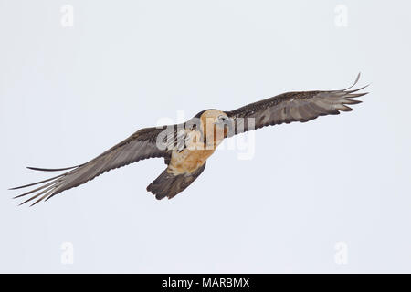 Bearded Vulture, Lammergeier (Gypaetus barbatus). Adult in flight. Italy - Stock Photo