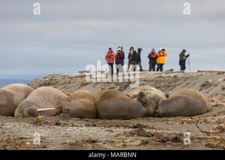 Atlantic Walrus (Odobenus rosmarus). Tourists taking pictures of walrusses on a beach. Svalbard, Norway - Stock Photo