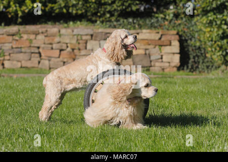 American Cocker Spaniel. Two adults on agility parcour. Germany - Stock Photo