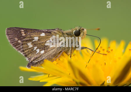 Silver-spotted Skipper (Hesperia comma). Butterfly on a yellow flower. Austria - Stock Photo