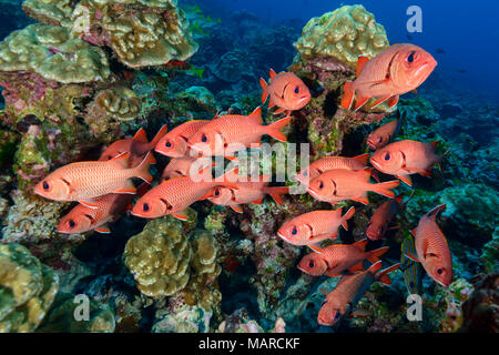 Blotcheye Soldierfish (Myripristis berndti). Fishes in coral reef, Cocos Island, Costa Rica, Pacific Ocean - Stock Photo