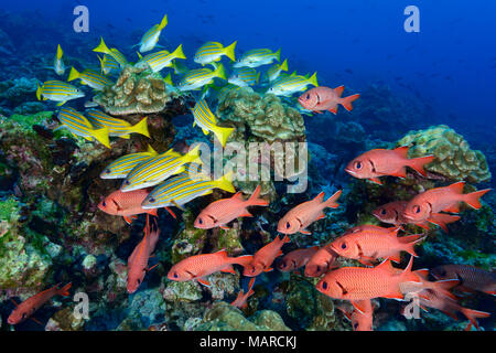Blotcheye Soldierfish (Myripristis berndti) and Blue-and-gold snapper (Lutjanus viridis). Fishes in coral reef, Cocos Island, Costa Rica, Pacific Ocean - Stock Photo