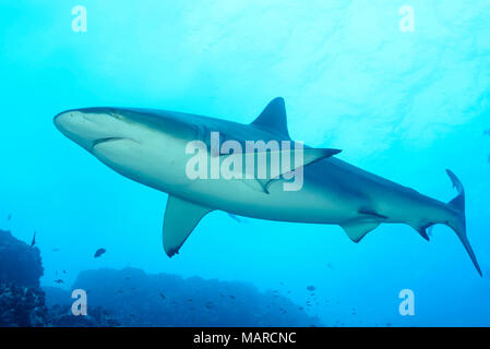Tiger Shark (Galeocerdo cuvier) swimming. Cocos Island, Costa Rica, Pacific Ocean - Stock Photo