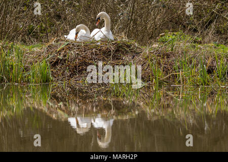 Mute swans (Cygnus olor) building a nest at the lakeside.The male and female build the nest together with the male collecting and passing material.  . - Stock Photo