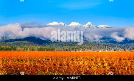Winter colors of the blueberry fields in Pitt Polder near Maple Ridge in the Fraser Valley of British Columbia, Canada on a clear and cold winter day. - Stock Photo