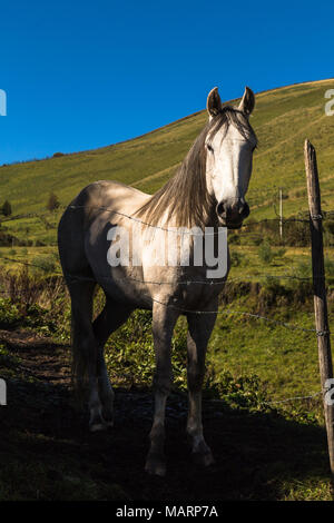 Beautiful white horse in the field with blue sky, looking at the photographer - Stock Photo